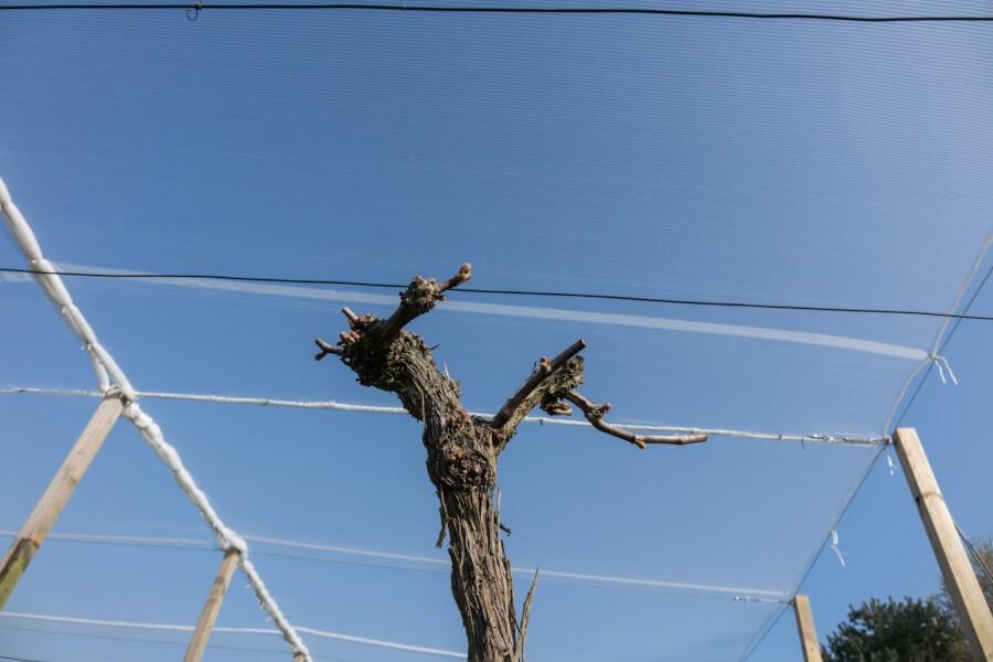 Filet anti-grêle protection des vignes
