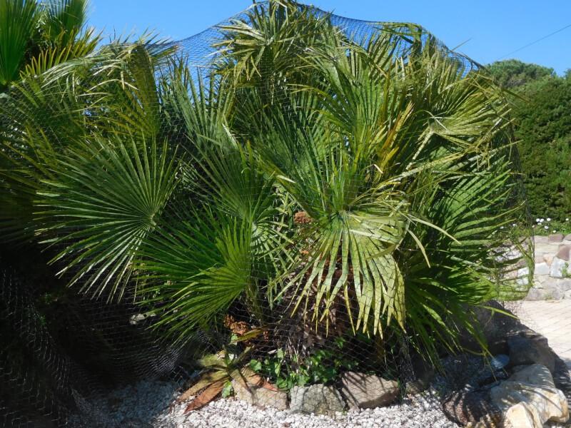 Pose d'un filet sur un palmier contre les insectes nuisibles