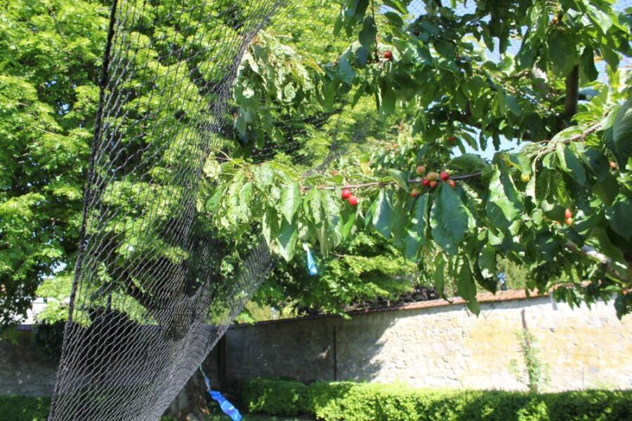 Protéger un cerisier avec un filet de volière