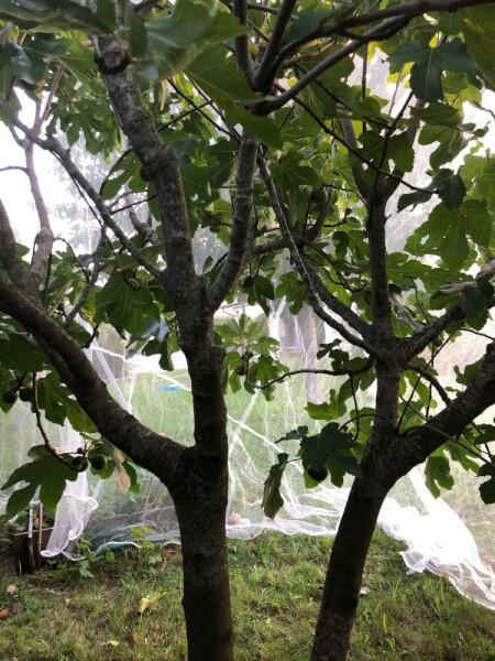 Filet protection contre les oiseaux pour arbre fruitier