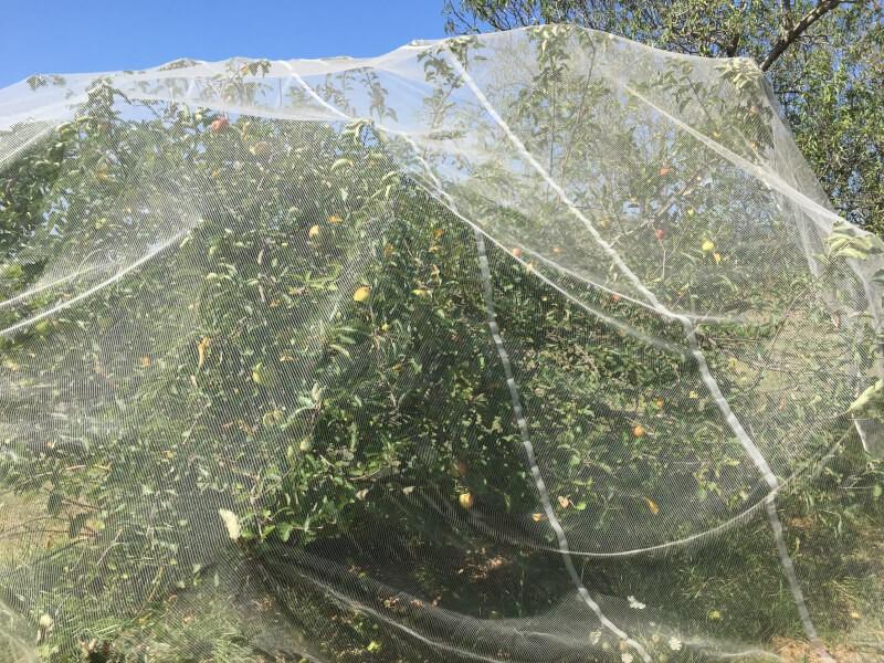 Filet de protection pour protéger un pommier des oiseaux
