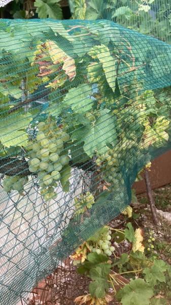 Filet anti-oiseaux pour protéger vignes et raisins