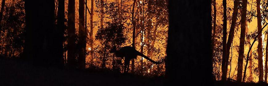 un kangourou dans une forêt en feu