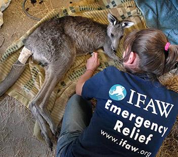 un kangourou soigné par un vétérinaire IFAW
