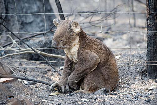 un koala blessé dans les cendres
