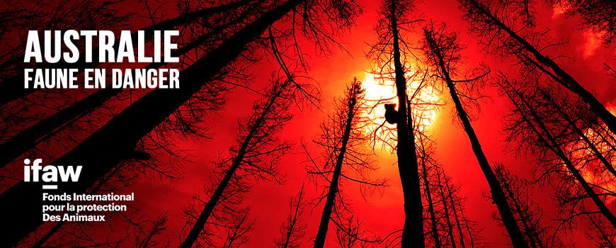 Un koala dans la fumée des feux de forêts en Australie