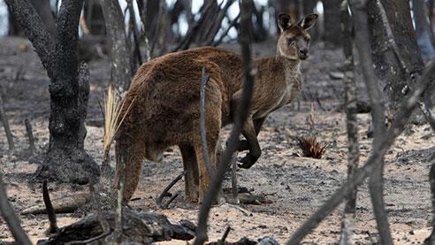 un kangourou dans les cendres