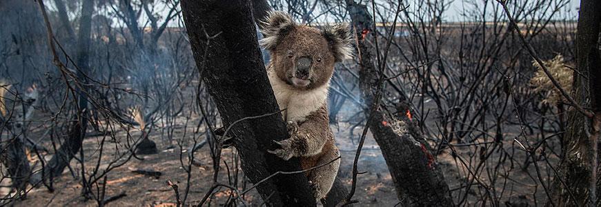 un koala sur une branche d'arbre brulée